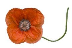 Цветок мака на черенок Стоковые Фотографии RF