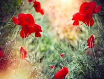 Цветок мака, одичалые красные маки загоренные солнечным светом в луге стоковые изображения
