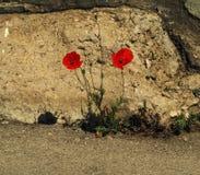 Цветок мака перед каменной стеной Стоковое Фото