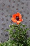 Цветок мака против серой каменной стены Стоковое Фото