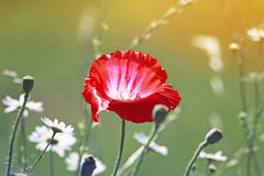 Цветок мака среди белых маргариток на солнечном луге Стоковое Фото