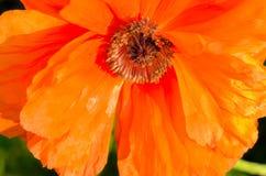 Цветок мака с бумажными тонкими оранжевыми лепестками стоковое изображение rf