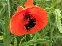 Цветок мака с пчелой стоковые фотографии rf