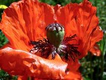 Цветок мака только перед увядать стоковое изображение rf