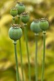 Цветок мака Стоковое Изображение