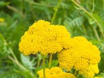 Цветок макроса тысячелистника обыкновенного Fernleaf или filipendulina Achillea, селективного фокуса, отмелого DOF стоковая фотография rf