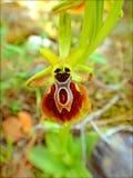 Цветок макроса apifera Ophrys в предпосылке цветения и обои в верхних высококачественных печатях стоковые фотографии rf