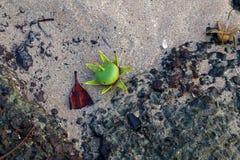 Цветок мангровы Стоковые Изображения RF