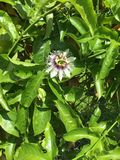 Цветок маракуйи стоковое фото rf