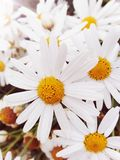 Цветок Маргарет белый как милая девушка стоковая фотография