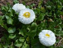 цветок, маргаритка, белизна, природа, зеленый цвет, весна, завод, желтый цвет, трава, лето, цветки, сад, флора, стоцвет, луг, пол стоковые фотографии rf