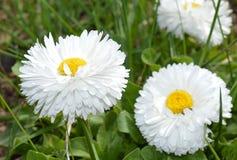 цветок, маргаритка, белизна, природа, зеленый цвет, весна, завод, желтый цвет, трава, лето, цветки, сад, флора, стоцвет, луг, пол Стоковое Изображение