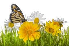 цветок маргаритки бабочки стоковое изображение rf