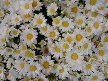 Цветок маргаритки - белизна Стоковая Фотография RF