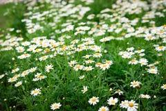 Цветок маргаритки, цветок весны Стоковые Фотографии RF