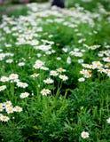 Цветок маргаритки, цветок весны Стоковые Изображения