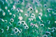 Цветок маргаритки весны Стоковые Фотографии RF