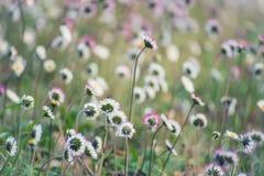 Цветок маргаритки весны Стоковое Изображение RF
