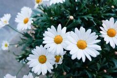 Цветок маргаритки взгляд сверху Стоковое фото RF