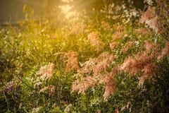 Цветок маргаритки в влиянии солнечного света пользы Таиланда для винтажного стиля Стоковое Изображение RF