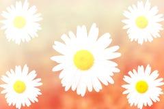 Цветок маргаритки в нерезкости движения, с влиянием фильтра градиента Стоковое Изображение