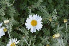 Цветок маргаритки в полях Стоковое Изображение