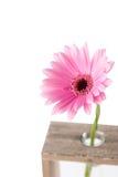 Цветок маргаритки в пробирках Стоковое Изображение RF