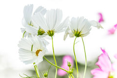Цветок маргаритки в солнечном свете, в полдень Стоковая Фотография