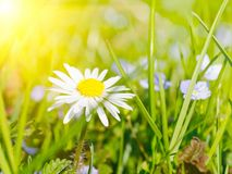 Цветок маргаритки в траве Стоковые Изображения RF