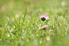 Цветок маргаритки в траве, Стоковые Фотографии RF