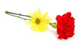 цветок маргаритки гвоздик Стоковое Изображение RF