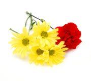 цветок маргаритки гвоздик Стоковые Фотографии RF