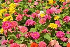 Цветок маргаритки или цветок Gerbera Стоковая Фотография RF