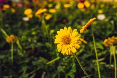 цветок маргаритки культивирования цветет розы заводов оранжереи парников парника Оранжерея с gerbers помост Стоковое Изображение
