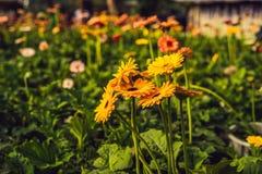 цветок маргаритки культивирования цветет розы заводов оранжереи парников парника Оранжерея с gerbers помост Стоковое Фото