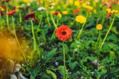 цветок маргаритки культивирования цветет розы заводов оранжереи парников парника Оранжерея с gerbers помост Стоковые Изображения RF
