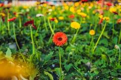 цветок маргаритки культивирования цветет розы заводов оранжереи парников парника Оранжерея с gerbers помост Стоковое Изображение RF