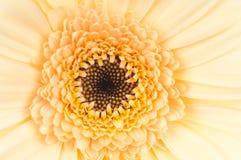 Цветок маргаритки. Макрос Стоковые Изображения RF