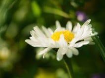 Цветок маргаритки на зеленой предпосылке Одна маргаритка поля в поле gerbera или маргаритки Стоковое Изображение RF