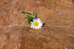 Цветок маргаритки на камне Стоковые Изображения
