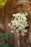 Цветок маргаритки на стене Стоковое Изображение