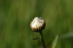 Цветок маргаритки на лужке Стоковое Изображение RF