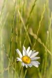цветок маргаритки одиночный Стоковая Фотография