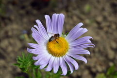 Цветок маргаритки одичалой пчелы опыляя Стоковые Фото