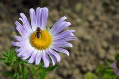 Цветок маргаритки одичалой пчелы опыляя Стоковая Фотография RF