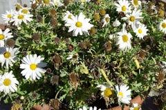 Цветок маргаритки подробно Стоковая Фотография