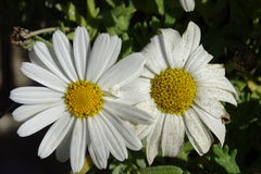 Цветок маргаритки подробно Стоковое Изображение RF