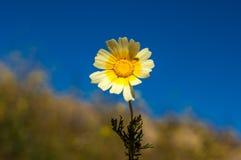 Цветок маргаритки против голубого неба Стоковые Фотографии RF