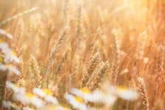 Цветок маргаритки пшеничного поля и одичалого стоцвета осветил солнечным светом стоковые фотографии rf