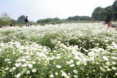 Цветок маргаритки соловья в улице Ханоя Оно цветет только одиночный сезон в очень коротком периоде времени в конце ноября стоковые фото